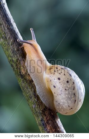 Little garden snail crawling on a branch