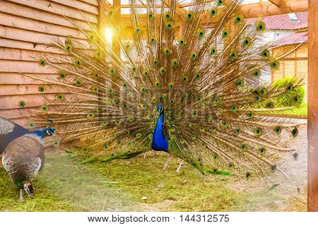 Peacock fluffed a huge bright tail in mating dance in front of females in a cage in poultry farm. Bird farm at St. Elizabeth women's monastery Slavske district Kaliningrad oblast Russia