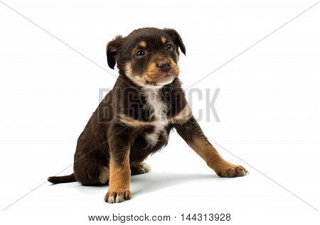 Puppy bodyguard dog isolated on white background