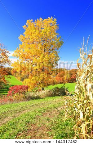Autumn colors with trees in Midwest rolling farmland cornfield ready for harvest