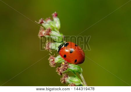 Macro amazing beautiful ladybug sits on a flower