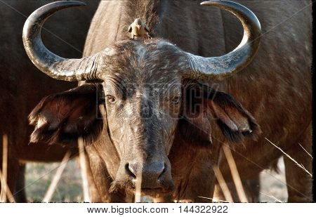 Female Cape buffalo looking directly ahead with an ox pecker perched on it's head