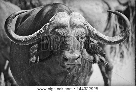 Bull Cape Buffalo looking directly ahead in black & white