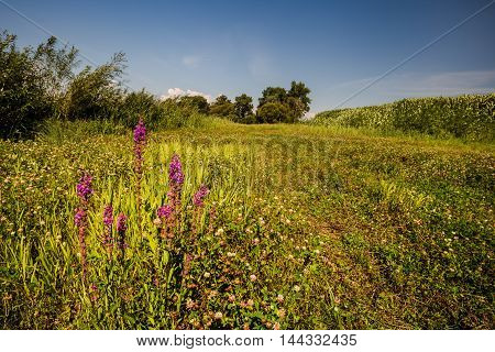 Field and meadow flowers. Moravian landscape Sudice