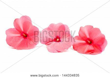 balsam red flower on a white background