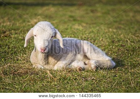 cute lamb in spring which lies on the grass