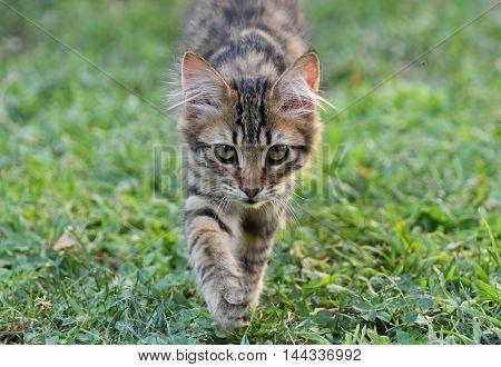 Baby cat walking and looking at camera.