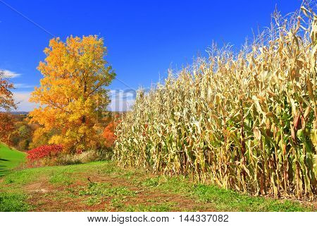 Autumn colors on Midwestern rolling farmland with cornfield ready to harvest