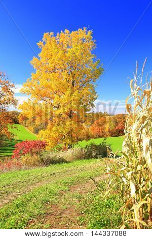 Autumn colors tree leaves on rolling farmland cornfield ready for harvest