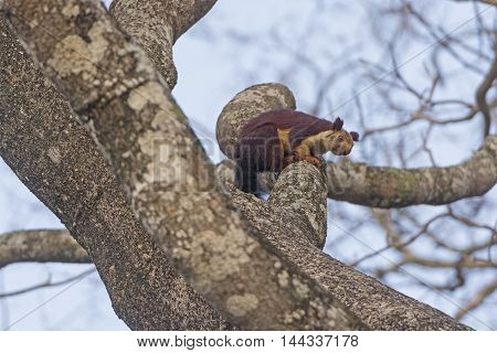 Indian Giant Squirrel in a tree in Nagarhole National Park in India