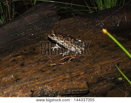 Granular toad, Rhinella granulosa, in Suriname jugle