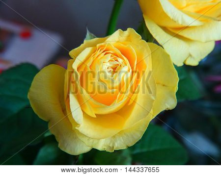 Bouquet of roses flowers bud yellow nature garden petals color cultivation celebration gift event flora botany nature care season summer autumn fragrance smell