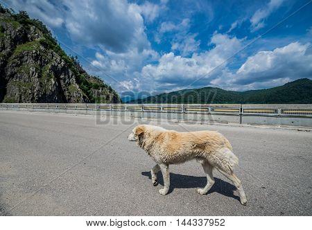 Dog on the road at Vidraru Dam in Romania