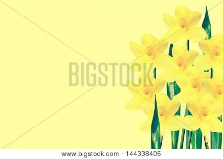 spring flowers narcissus isolated on yellow background
