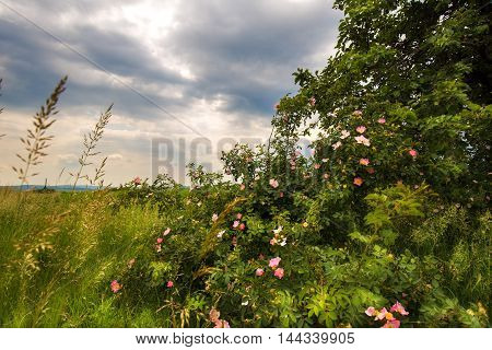 Blooming rose bush. Fluffy clouds over a field. Moravian landscape Pteni