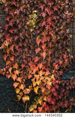 Closeup of a colorful Boston ivy leaves in autumn
