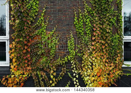 Boston ivy growing on concrete wall in autumn
