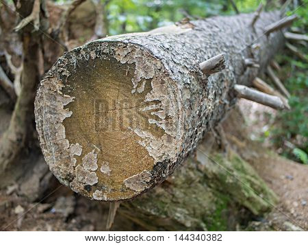 Tree Trunk With Cut Branches Selected Focus