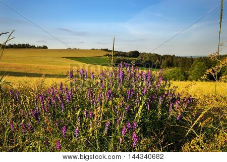 Field and meadow flowers. Moravian landscape Rozsec nad Kunstatem.