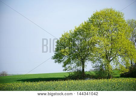 An array of freshly blown deciduous trees standing at a rape field and corn field in springtime.