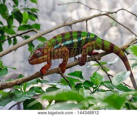 Colorful Panther Chameleon, Furcifer Pardalis, on a branch.