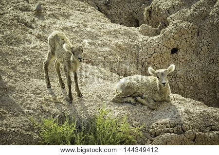 Pair of Big Horn Sheep Lambs on a Cliff