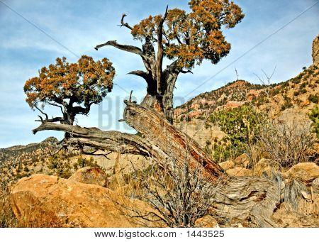 Dsc_18711Geophoto incrível árvore de cedro