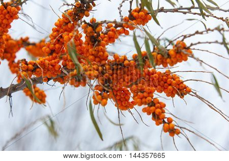 Buckthorn In The Winter. Berries Of Sea-buckthorn Are In Winter After A Snow-fall