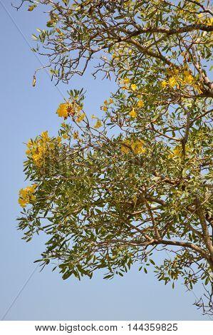 yellow Tabebuia aurea flower in nature garden