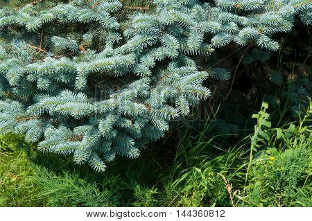 Blue Spruce. A North American Spruce With Sharp, Stiff Blue-green Needles, Growing Wild In The Centr