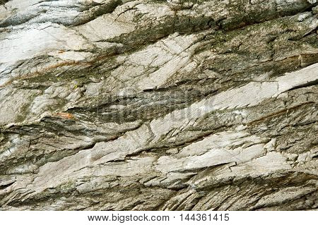 Texture, Background. Bark Of Tree. Poplar Bark.