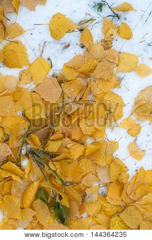 Leaves autumn snow. texture. The first fall of snow. Yellow birch leaves in the snow