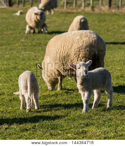 Some New Zealand lambs and their mothers on green grass.