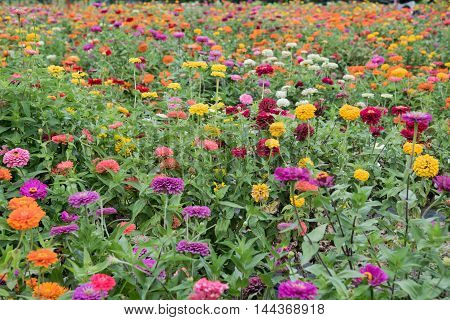 Field Of Multicolored Gerberas