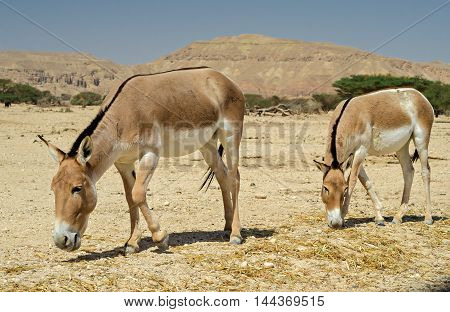 The onager (Equus hemionus) is a brown Asian wild donkey inhabiting nature reserve park near Eilat