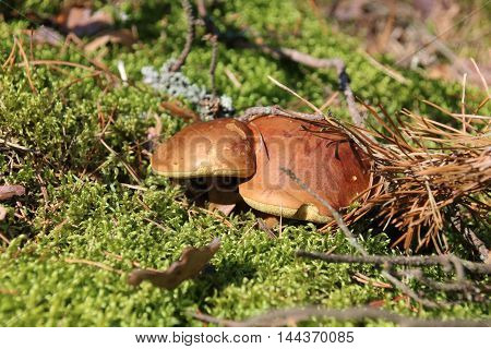 Mushroom bay bolete Imleria badia or Boletus badius in the forest