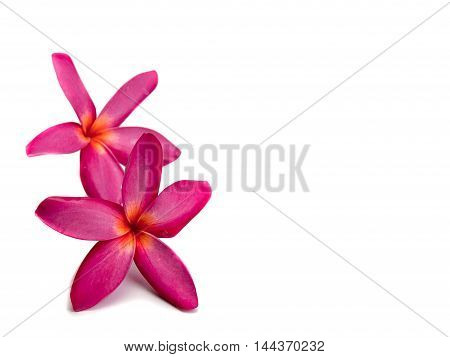 plumeria flower Placed on a white background. (Space for your text)
