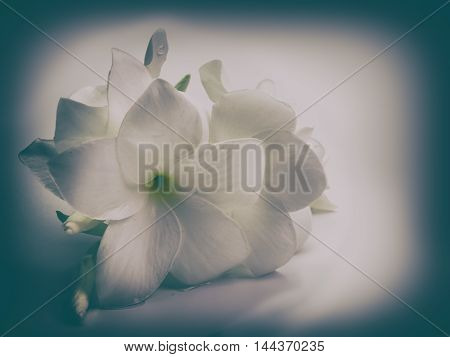 plumeria flower Placed on a white background. (Vintage)
