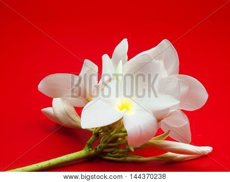 plumeria flower Placed on a red background.