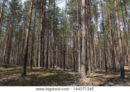 Pine Forest In A Nice Summer Day