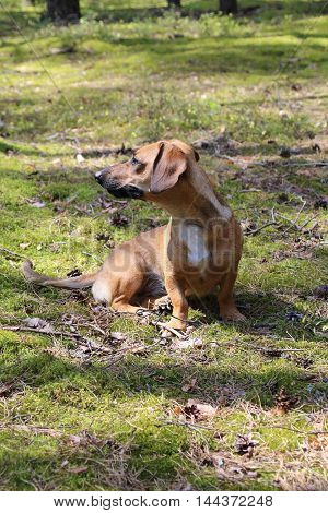 The dachshund is a short-legged elongated dog breed
