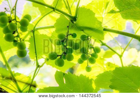 ripening green grapes hanging on the branches of grapes