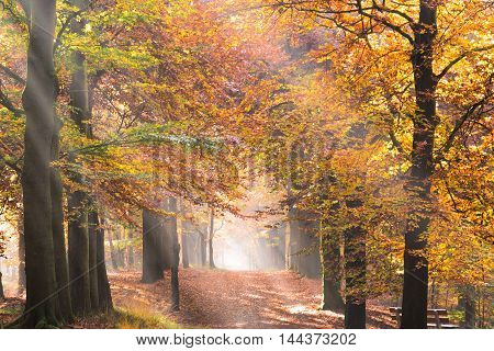 Sun in rays creating sunbeams through the trees with foliage in fall colors and the morning fog on a path in a forest in autumn.