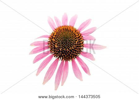 Echinacea pink flower on a white background