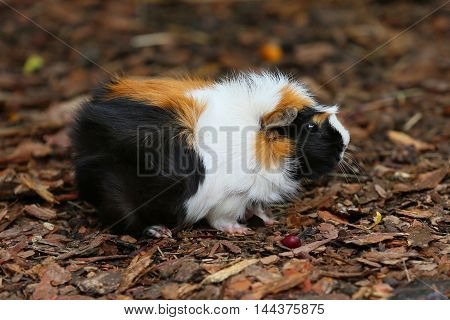 Tri-color guinea pig outdoors they are very nice and cool animals