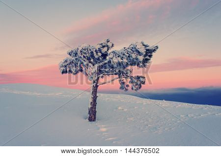 lone pine tree in the snow in the mountains