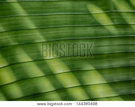 close-up Banana leaf with sunlight. HDR processing effect.