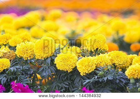 Lots of beautiful marigold flowers in the garden.