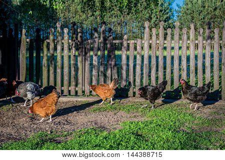 free range chicken farm in a village in Poland