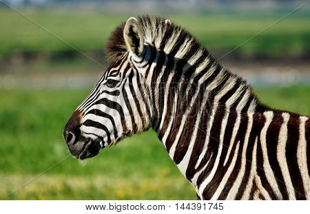 Close up of a Zebra on a green meadow